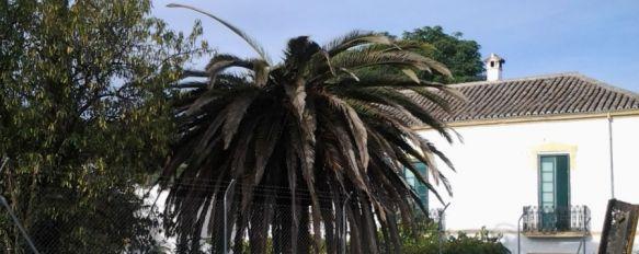 El picudo rojo devora cuatro palmeras en Ronda, Medio Ambiente crea un procedimiento de comunicación para combatir la acción de este insecto, 05 Nov 2012 - 19:58
