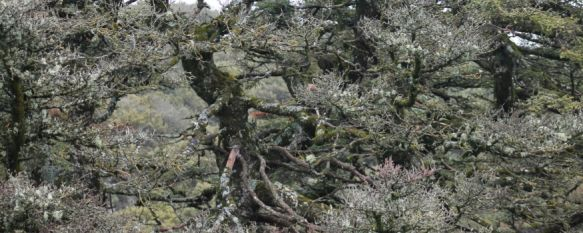 El Pinsapo de Las Escaleretas se apaga, Los expertos apuntan que este ejemplar de más de 350 años podría encontrarse ante sus últimos meses de vida , 04 Apr 2013 - 20:40