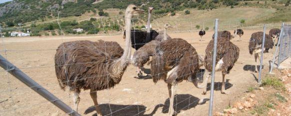 Un trozo de África en el corazón de la Serranía de Ronda, El sudafricano Ian Milstein pone en marcha un centro de interpretación del avestruz, un exótico proyecto que abrirá sus puertas a finales de año, 21 Jun 2013 - 20:40