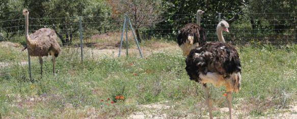 Un inversor sudafricano pone marcha un parque de avestruces en la carretera de Algeciras, Ian Milstein ha invertido una cantidad cercana al millón de euros en un proyecto enfocado al turismo y los escolares, 16 May 2014 - 15:24