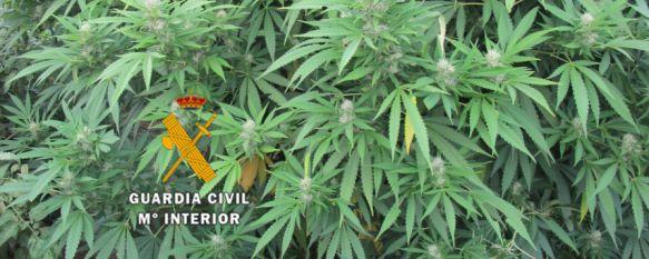 Desmantelan un invernadero de marihuana y detienen a una persona en Algatocín, Según la Guardia Civil, el propietario de la finca reconoció la supuesta autoría de los delitos de cultivo y elaboración de droga y contra la salud pública, 16 Sep 2015 - 19:06