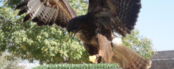 La plantación de cuatro árboles compensará la tala de un nogal en las Murallas del Carmen, El espectáculo de aves rapaces se realizará con especies autóctonas y dará inicio en el mes de marzo, 18 Oct 2011 - 16:31