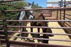 La Feria se convierte en una buena ocasión para los negocios ganaderos. // CharryTV