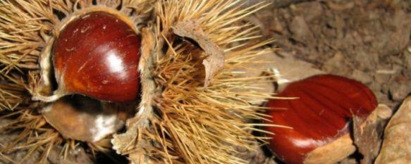 Caída de casi el 50 por ciento en la producción de la castaña, Según los técnicos de ASAJA, la campaña ha sido corta y muy dura y se han recogido unos 2 millones de kilos de castañas en el Valle del Genal, 27 Oct 2011 - 14:34
