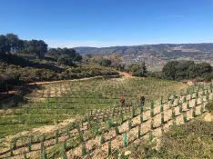 Los viñedos y olivares se distribuyen en un marco de cultivo superintensivo. // CharryTV