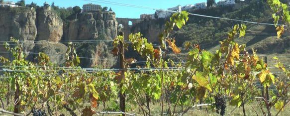 La campaña de la uva dejará este año en torno a un 5% menos de producción que en 2018, El aumento de temperaturas al final del verano y las escasas…, 11 Oct 2019 - 19:15
