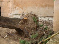 La base del ciprés que ha caído a consecuencia del viento. // CharryTV