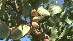 Ronda Pistachos prevé producir al año unos 800 kilos de pistachos por hectárea. // CharryTV