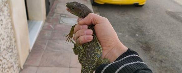 El rondeño Braulio Codes rescata un lagarto ocelado, El reptil, una especie en peligro de extinción, se encontraba atrapado debajo de un coche aparcado en la Barriada de San Rafael y podría haber sido atropellado, 06 Nov 2020 - 13:16