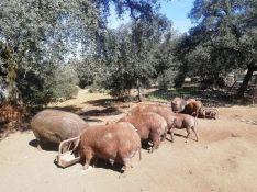 Los cerdos rubio dorado requieren de periodos de crianza más largos, aumentando sus costes de producción con respecto a otras razas más extendidas. // María José García