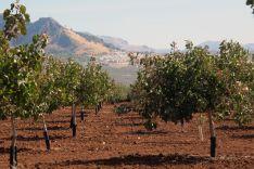 El cultivo de pistachos resiste el intenso frío del invierno y las altas temperaturas del verano. // Ronda Pistachos