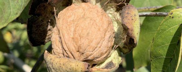 Nueces de Ronda espera cosechar alrededor de 50 toneladas esta campaña, La sequía de los últimos meses y las altas temperaturas veraniegas…, 15 Oct 2021 - 08:22